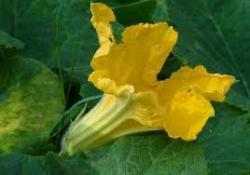 Courgettes fleur 3