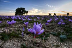 crocus-photo1.jpg