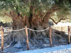 olivier-millenaire-kavousi-crete-2.jpg