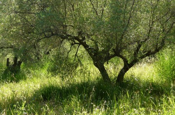 oliviers dans la verdure
