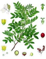 pistachier-lentiste-wikimedia.jpg