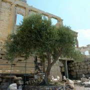 L' olivier d'Athèna-pp033