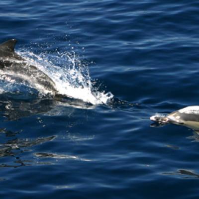 Les Dauphins en mer Egee