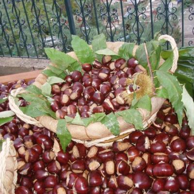 récolte des chataîgnes dans le Pilio