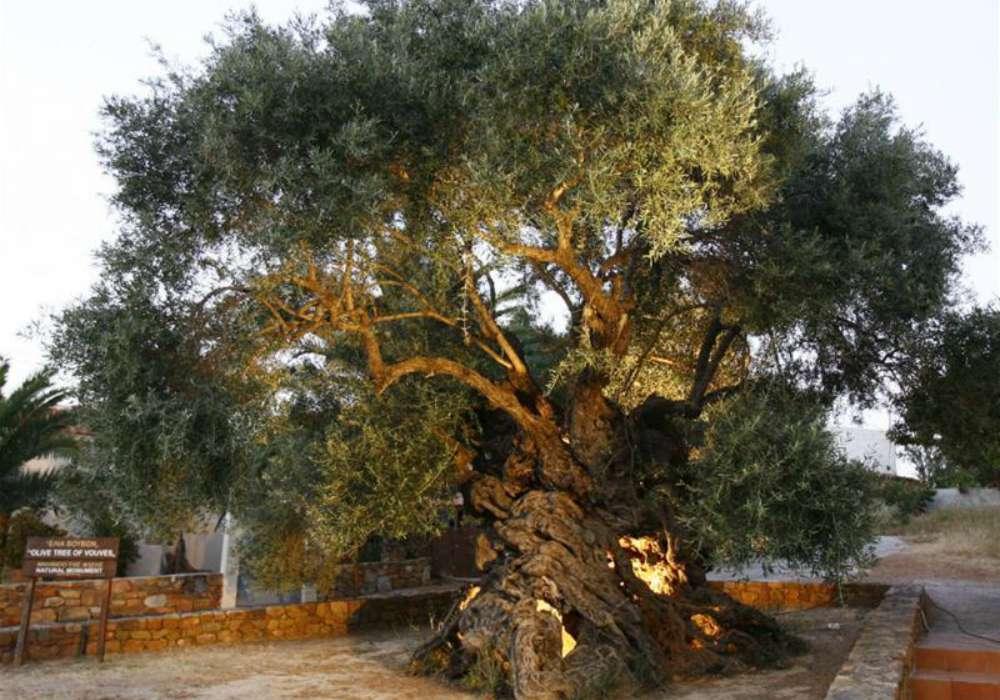Olivier mythique crete 1